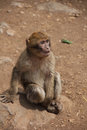 Monkey in the dessert Royalty Free Stock Photo
