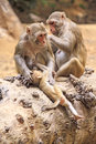 Monkey from dharamshala town macaca family in indian Stock Image