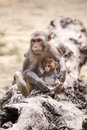 Monkey from dharamshala town macaca family in indian Stock Photography