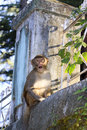 Monkey from dharamshala town young looking with interest in my camera Royalty Free Stock Photo