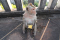 Monkey eat corn bangsaen thailand Royalty Free Stock Images