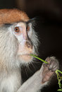 Monkey eating Stock Images