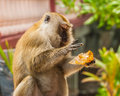 Monkey eating bread piece of against blurred background Stock Images