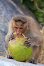 Monkey eating a coconut at anjaneya hill with hanuman temple monkey temple hampi karnataka india Stock Photos