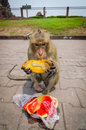 Monkey eating at phra prang sam yot at lop buri thailand Stock Photography