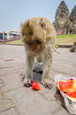 Monkey eating at phra prang sam yot at lop buri thailand Royalty Free Stock Photos
