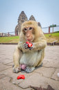 Monkey eating at phra prang sam yot at lop buri thailand Stock Images