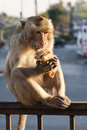 Monkey Eating Sandwich Stock Photo