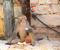 Monkey eating a is something Royalty Free Stock Photography