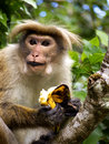 Monkey eats banana in sri lanka Stock Images