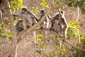 Monkey family sitting on tree resting ( Presbytis obscura reid). Royalty Free Stock Photo