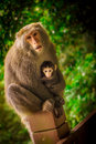 Monkey family a sweet mother and her son formosan macaque in yangmingshan national park taiwan Stock Photos