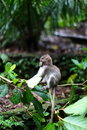 Monkey forest ubud bali baby at hanging from a branch Royalty Free Stock Image