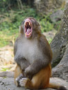 Monkey gave a big yawn the Royalty Free Stock Images
