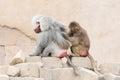 Monkey grooming another monkey