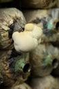 Monkey head mushroom yamabushitake mushroom growing in a farm on spawn bags Royalty Free Stock Images