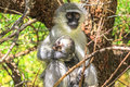 Monkey holding baby give me shelter on the tree in zebra mountain national park south africa Royalty Free Stock Photo