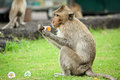 Monkey hungry eating a delicious dessert Royalty Free Stock Photos