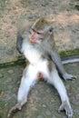 Monkey image of grey itching itself bali forest Royalty Free Stock Photo