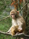A monkey is imitating to play mobile phone just like people and it is so funny Royalty Free Stock Photography
