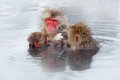 Monkey Japanese macaque, Macaca fuscata, family with baby in the water. Red face portrait in the cold water with fog. Two animal Royalty Free Stock Photo