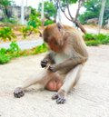 Monkey lives in the forest, Thailand cute animal Royalty Free Stock Photo