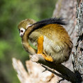 Monkey with a long tail common squirrel saimiri sciureus Royalty Free Stock Images