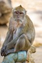 Monkey long tailed macaque crab eating macaque Royalty Free Stock Images