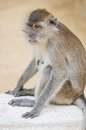 Monkey long tailed macaque crab eating macaque Stock Photo