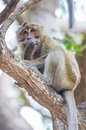 Monkey long tailed macaque crab eating macaque Stock Images