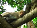 Monkey lying on the tree and looking to me Stock Photography