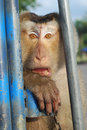 Monkey Macaque Coconut Gape Stock Images