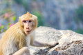 Monkey a male sit on the rock Royalty Free Stock Photography