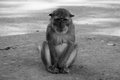 Monkey monochrome picture of is lonely Stock Image