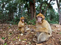 Monkey - Morocco Royalty Free Stock Photography