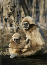 Monkey Mother with child Royalty Free Stock Photos