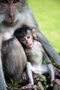 Monkey mother with her baby Royalty Free Stock Photo
