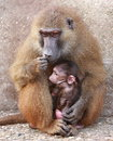 Monkey mother holding child Royalty Free Stock Image