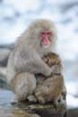 Monkey mother hug her son a japanese in winter Royalty Free Stock Photos