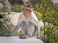 Monkey in nature Royalty Free Stock Image