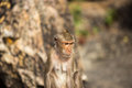 Monkey in nature at chonburi thailand Stock Photography