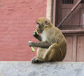Monkey in nepal Stock Image