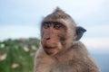 Monkey omnivorous mammal herbivore Royalty Free Stock Photo