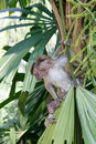 Monkey on a palm tree. Royalty Free Stock Photo