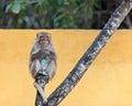 Monkey portrait on a tree sitting branch vivid yellow background Stock Photo