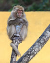 Monkey portrait on a tree sitting branch vivid yellow background Stock Images