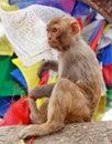 Monkey with prayer flags near swayambhunath stupa, Nepal