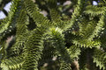 Monkey puzzle the is a conifer from chile Stock Photography