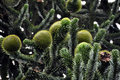 Monkey Puzzle Tree (araucaria) Stock Images