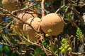 Monkey s apricot exotic fruit photo showing an called or andes nut this tree can be found in south america Stock Photo